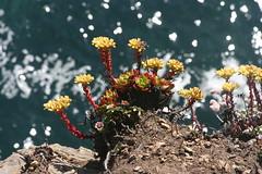 Dudleya (brian dean bollman) Tags: mendocinocountyca russiangulchstatepark crassulaceae dudleya dudleyafarinosa