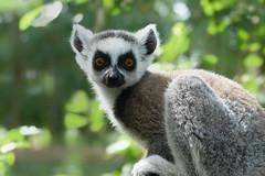 Ringstaartmaki (Lemur catta) (eric zijn fotoos) Tags: sonyrx10111 holland nederland dierentuin fauna dier sonyrx10iii detail sonyrx10m3 noordholland zoo animal