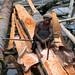 Indigenous Papuans make sago