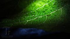 Wet Leaf (Thomas TRENZ) Tags: enlightenment tamron thomastrenz zwischenring blatt d600 erleuchtung erleutet extensionring extensiontube iamnikon leaf licht light macro makro wassertropfen waterdrops weinblatt wineleaf