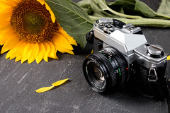 Retro camera and a sunflower (wuestenigel) Tags: photo sunny old people fashion retro vintage sunflower background film young closeup summer man nature photographer beautiful stylish technology photography camera holding beauty hobby lifestyle taking style noperson keineperson lens linse natur sommer outdoors drausen technologie leaf blatt zoom equipment ausrüstung flower blume