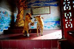 ,, Sorry Mom, My Bad ,, (Jon in Thailand) Tags: motherson mama rocky dog dogs k9 k9s jungle themonkeytemple thespirithouse red yellow blue green redfloortile nikon nikkor d300 175528 dogexpressions dogeyes dogpaws dogears gold kuanyin statue spirithouse whitesox dogdiscussion littledoglaughedstories