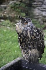 Grand-duc d'Europe - Bubo bubo - Eurasian Eagle-Owl (Fred Scoffier) Tags: animal aves birds bubobubo eurasianeagleowl grandducdeurope oiseaux strigidae strigidés strigiformes
