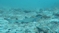 White Tip Reef Shark. Squalo Pinna Bianca di Barriera (Triaenodon Obesus). (omar.flumignan) Tags: white tip reef shark whitetipreefshark squalopinnabiancadibarriera squalo pinna bianca barriera maldive maldives holiday vacanza mofushi