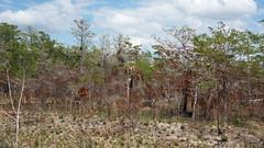 After the Fire D7C_3852 (iloleo) Tags: landscape florida fire devastation everglades nikon d750 trees burnt bigcypressnationalpreserve