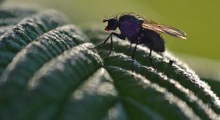 fly on raspberry leaf
