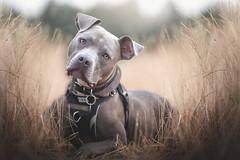 Magnus (CaPpedDoG) Tags: dog canine friend companion pit pittie pitty pitbull pitbullterrier bluenose blusenosepitbull headtilt grass summer dry victoria bc vancouver island 135mm 1dx canon