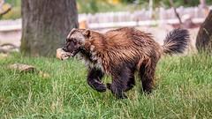Wolverine On The Run (Wes Iversen) Tags: detroitzoo gulogulo michigan nikkor18300mm royaloak fences grass nature running trees wolverines zoos mammals animals