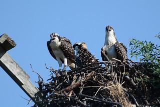 Osprey (Juv.) - The Three Banditos
