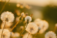Sunset glow (Inka56) Tags: sunset sunsetglow dandelions goldenhour nature 7dwf closeup macroorcloseup