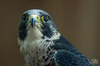 Peregrine Falcon (Falco peregrinus) Portrait