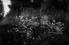 dancing daisies (ΞSSΞ®®Ξ) Tags: ξssξ®®ξ pentax k5 summer 2017 countryside hälsingland sweden perspective outdoor light monochrome depthoffield plant smcpentaxm50mmf17 grass bokeh evening daisies dancingdaisies