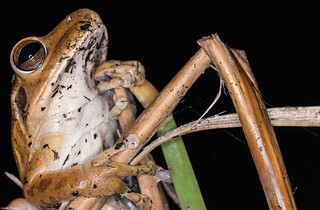 perereca-de-bananeira (Hypsiboas raniceps)