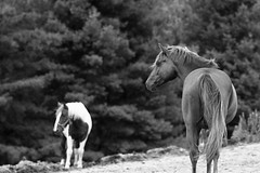 What's over there? - Raynham Stables (Richard Wintle) Tags: ilford delta 100 film 135 35mm 135mm bushnell f28 asahi pentax spotmatic spotmaticf bw monochrome blackandwhite adox fx39 farm riding equestrian raynhamstables schomberg nobleton ontario canada