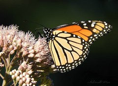 """Macro Mondays """"She is a Queen"""" (NaturewithMar) Tags: macromondays queen butterfly monarch insect macro wisconsin park summer 2017 7dwf free theme"""