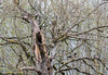 20170417 De Boville Slough 055A2512 (ianburgess1) Tags: aixsponsa birds britishcolumbia debovilleslough familyanatidae metrovancouver places woodduck