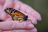 Celebrating new life! (ineedathis, Everyday I get up, it's a great day!) Tags: monarch hands mywifeshands butterfly life insect newborn πεταλουδα λεπιδοπτερα lepidoptera love male danausplexippus nature garden summer closeup black yellow nikond750