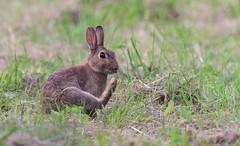 vas-y, faits en autant !!! (guiguid45) Tags: nature sauvage animaux mammifères loiret d810 nikon 500mmf4 lapin rabbit lapindegarenne oryctolaguscuniculus affût