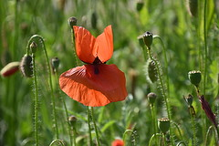 Poppies (eowina) Tags: poppies flowers meadow summer plants gardens