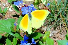 Citron 03 (jean-daniel david) Tags: papillon papilloncitron citron insecte insectevolant jaune fleur fleurbleu nature closeup vert bleu