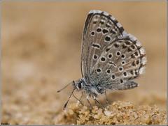 Abencerraje ibérico. (josemph) Tags: olympus e3 sigma 105mm zuico ec14 macro insectos mariposas lepidópteros licénidos abencerrajeibérico pseudophilotespanoptes butterfly panoptesblue