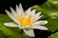 Nymphaea (MelRoseJ) Tags: sanfrancisco california unitedstates sonyalpha sony sonyilca77m2 a77ii alpha autofocus minoltaaf100mmf28macro goldengatepark northerncalifornia nature lily flower