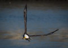 Eagle With Prey (Vic Zigmont) Tags: eagels birds eaglewitthprey raptor baldeagle birdinflight eagleinflight