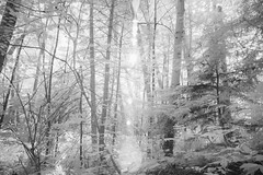 Summer Light (zenseas) Tags: summer light lightness ir infrared digitalinfrared bw blackandwhite monochrome seattle washington tree trees sun sunlight pacificnorthwest park hike hiking walk walking trail flare lensflare