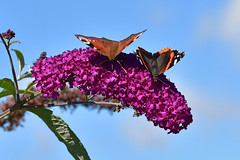 """""""Take A Bow"""" (AndyorDij) Tags: peacockbutterfly inachisio redadmiral redadmiralbutterfly vanessaatalanta butterfly insects insect buddleia summer plants flowers gardens 2017 andrewdejardin project365"""