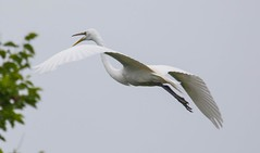 2U7A3467 (rpealit) Tags: scenery widllife nature ocean city rookery great egret bird
