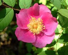 Wild Rose (Shelley Penner) Tags: wildflowers flowers rose wildrose deeppink vancouverisland