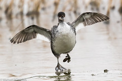 American coot (Manuel ROMARIS) Tags: bosquedelapache newmexico national wildlife refuge usa reserve