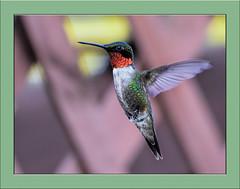 First time shooting hummingbirds! What fun but not easy! (tvj21) Tags: wow bird hummingbird