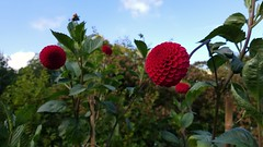 Dahlia (blondinrikard) Tags: röd red flower blomma dahlia reddahlia röddahlia botaniska botanicalgarden göteborg bokeh
