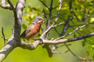Sylvia cantillans / Subalpine warbler / Субальпийская славка / Hvidskægget Sanger