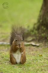 Eskrigg 14-07-2017 (CallumLaird) Tags: squirrels sony a77 70400 g camera slt lens nature green trees nuts lockerbie scotland unitedkingdom gb eskrigg