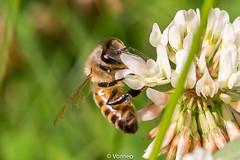 HoneyBee-0010.jpg (vorneo) Tags: classinsecta honeybee kingdomanimalia europeanhoneybee bee familyapidae wild westernhoneybee genusapis phylumarthropoda speciesamellifera binomialnameapismellifera orderhymenoptera