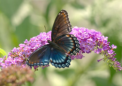 Red-spotted Purple Butterfly (mmorriso2002) Tags: butterfly redspottedpurple insect flyinginsect nature wildlife gardeningforbutterflies backyardhabitat newjersey