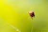 Walking the spiderline (dverstraetefoto) Tags: thuis natuurmacro spin