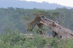 Leopard in Nakuru (Sallyrango) Tags: nakuru nationalpark kenya safari wildlife africanwildlife nature animals wildanimals inthewild africansafari kenyanwildlife eastafrica africa leopard leopardintree africanleopard