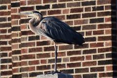 City heron (marensr) Tags: bird waterfowl great blue heron brick building nature urban wildlife ronan park chicago ardea herodias