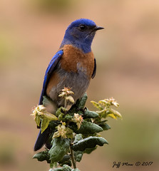 Western Bluebird (Jmawnster) Tags: sialiamexicana westernbluebird bluebird
