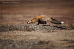 On the hunt (namra38) Tags: redfox armanwerthphotography wild wildlife washington hunt hunting