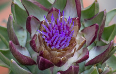 Blooming Artichoke (Robert Borden) Tags: artichoke bloom puple violet lavender green santaclarita losangelese la socal california westcoast usa northamerica westernhemisphere earth solarsystem universe canon