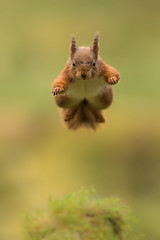 Jumping Red Squirrel (Blake Wardle DPAGB) Tags: fast northyorkshire hawes 30k tripodjob dof beautiful wildlifephotography green red bokeh nationalgeographic jumpingsquirrel springwatch squirrel yorkshire funny jumping canon nature wildlife animal redsquirrel explore natgeo ukwildlife explored portrait light uk 7d2 500mm