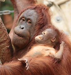 borneo orangutan Lea and Suria Krefeld BB2A1009 (j.a.kok) Tags: lea suria orangutan orangoetan borneoorangutan borneoorangoetan borneo azie asia mammal monkey mensaap aap ape animal zoogdier dier krefeld