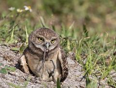 Burrowing Owlet Eating (ruthpphoto) Tags: burrowingowl