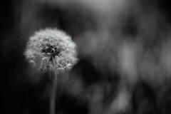 hymn of the divine dandelion (auntneecey) Tags: bokeh blur dandelion monochrome tension windy 365the2017edition 3652017 day199365 18jul17 macro