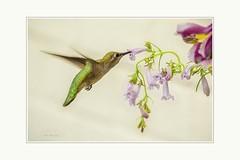 Anna's Hummingbird (Krasne oci) Tags: bird hummingbird hummer birdinflight flying flowers artphotography evabartos