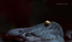 Shiny Bug (jeanmarie's photography) Tags: shallowdepthoffield 90mm tamron nikon summer garden darkbackground bokeh macro red insect ladybeetle ladybird nature ladybug jeanmarie jeanmarieshelton